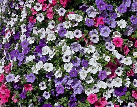 fiori petunie petunia guida completa a coltivazione e cura