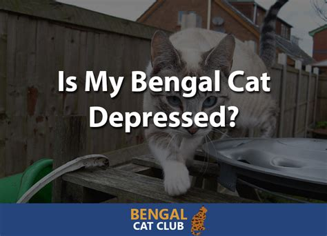 my is depressed is my bengal cat depressed bengal cat club