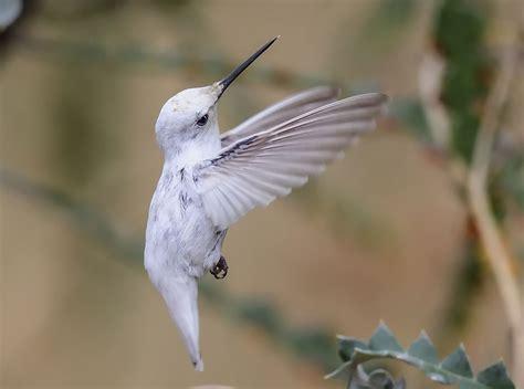 rare white hummingbird steals the spotlight at california