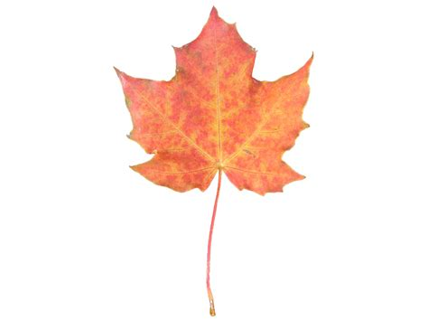 orange maple leaf free stock photo public domain pictures