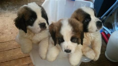 puppies for sale in port st pin bernard puppies classic stoans on