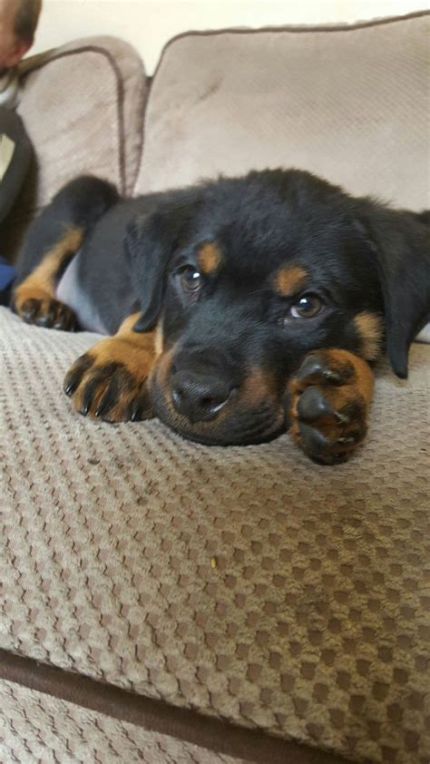 1 year rottweiler for sale rottweiler puppy for sale worcester worcestershire pets4homes