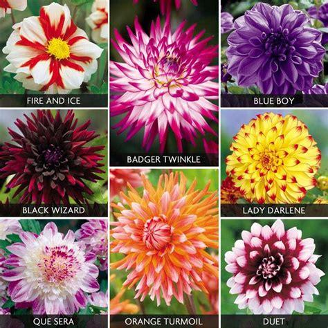 dahlia varieties google search dream garden pinterest bulbs search and flower