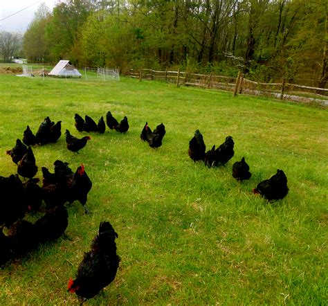 can i have chickens in my backyard 100 can i have chickens in my backyard the chicken