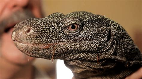5 cool facts about monitor lizards pet reptiles youtube