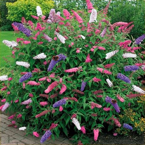 Bush 5 1 Day by Large Buddleia Tricolour Amazing Multicoloured Butterfly