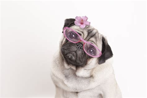 prone pug fourteen facts about pugs you need to vivamune health