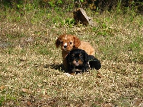 puppies for sale in wausau wi chow chow puppies for sale in charleston south carolina sc cayce