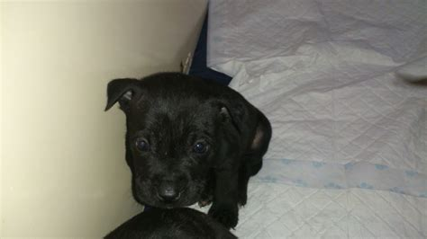staffy puppies for sale staffordshire bull terrier puppies for sale swindon wiltshire pets4homes