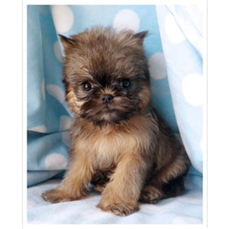 brussels griffon puppies for sale brussels griffon puppy for sale at teacups puppies south flo polyvore