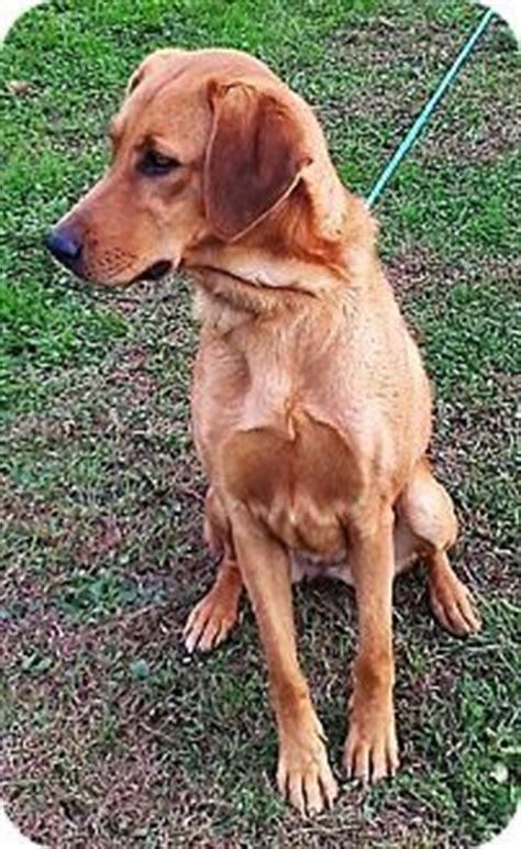 redbone coonhound golden retriever mix pin by wilson on