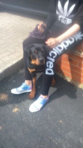 rottweilers for sale in louisiana kc reg rottweiler for sale ashby de la zouch leicestershire pets4homes