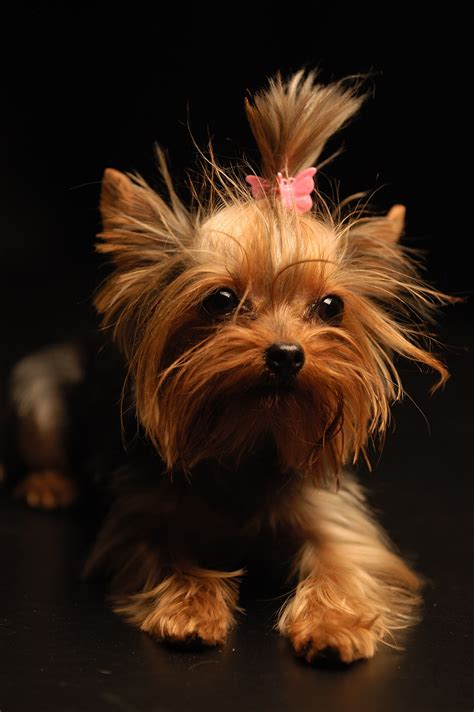 yorkie terrier файл terrier apple jpg