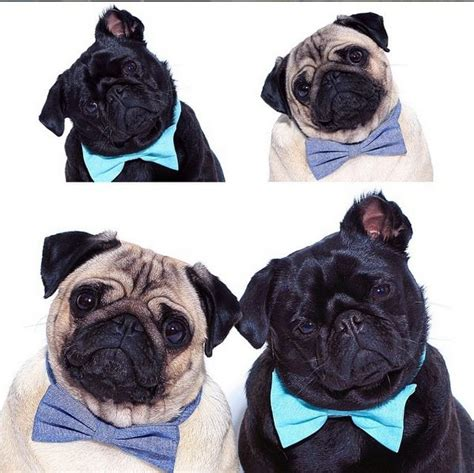 pug bow tie 207 best images about loulou co on blinded by the light mondays and pug