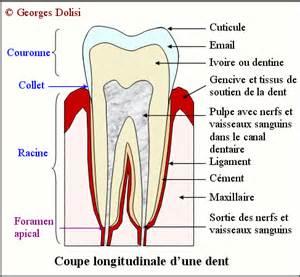 schema d une dent