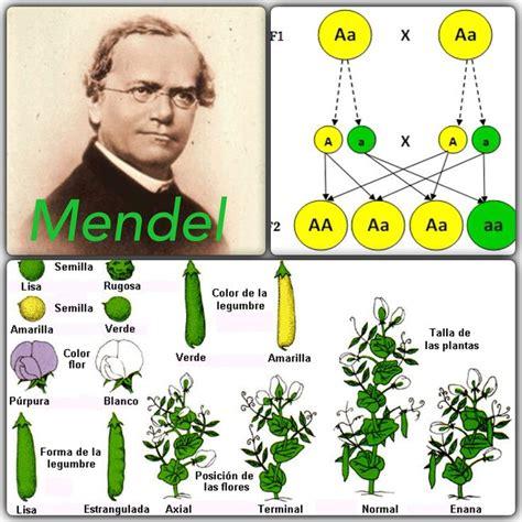 mendel el de los hace unos d 237 as se han cumplido 193 a 241 os del nacimiento del padre de la gen 233 tica gregor mendel