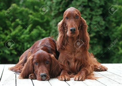 irish setter dog 50 most beautiful irish setter dog pictures and photos