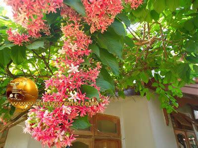 jual bibit bunga melati belanda quisqualis indica