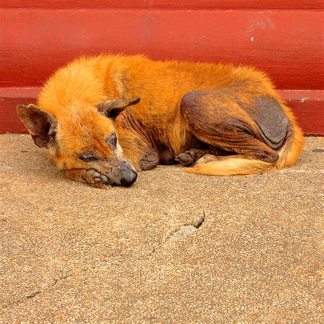what causes mange in dogs mange in dogs let s talk causes and treatments