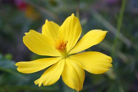 klasifikasi ilmiah  manfaat bunga kenikir jdsk