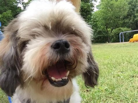 shih tzu adoption colorado 1000 images about help these dogs find a home on