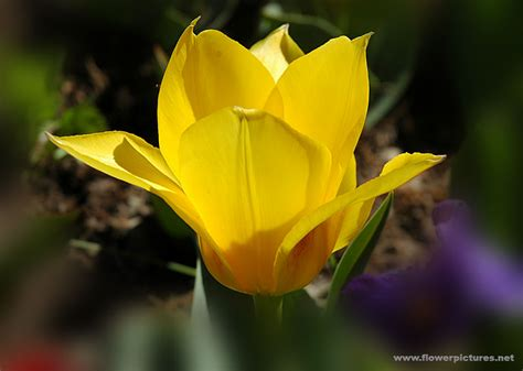 pictures of flowers pictures of flowers tulips