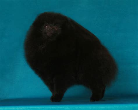 micro pomeranian for sale philippines offering for sale pomeranian puppies breeds picture