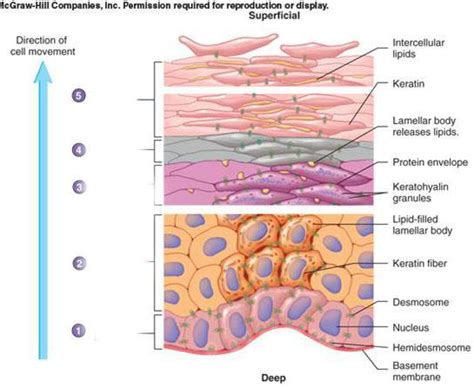 basement membrane of skin is the third layer of the epidermis the basement membrane