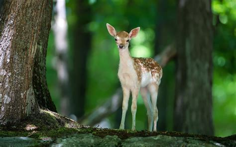 wallpaper   young deer  forest hd animals wallpapers