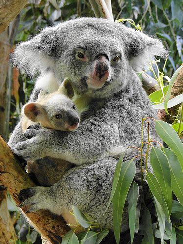 Metto Koala koala cuddling at cleveland metroparks zoo
