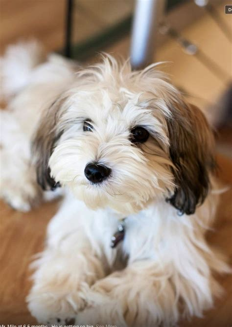 havanese breed of best 25 havanese puppies ideas on cockapoo