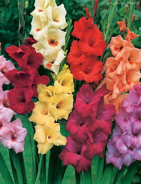gladioli fiori gladiolus flower information pictures flowers gallery