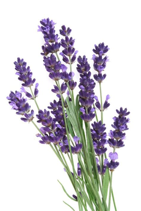 fototapete lavendel fototapete lavendel isolierte wei 223 pixers de