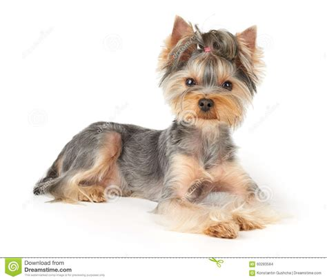 short haired dorkie mixes nice dog with short hair stock photo image 60283584