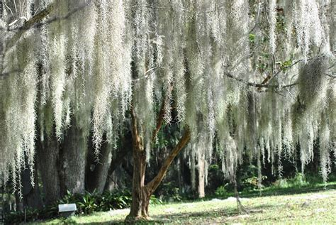 beautiful white spanish moss hanging from trees photograph
