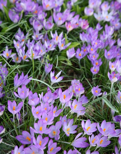 top 28 crocus plants for shade buy clustered bellflower canula glomerata superba buy chile