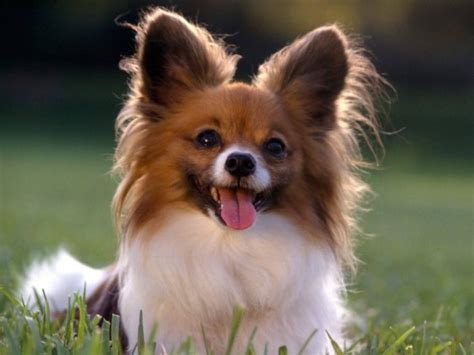 pomeranian sitting pictures of pomeranian dogs and puppies pets world