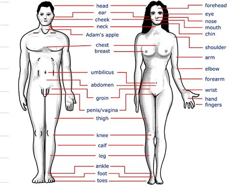 The Body And Its Parts Arnold Zwicky S Blog