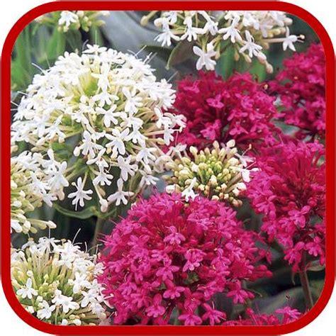 fiori perenni pieno sole centranthus ruber consigli coltivazione e cura