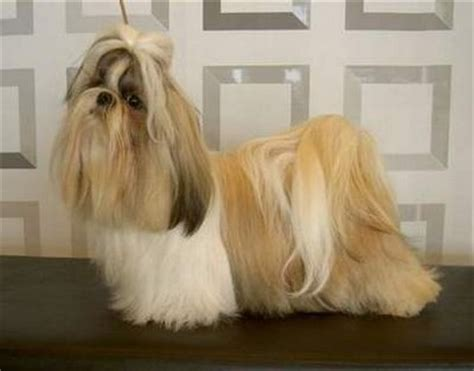 shih tzu colors pictures shih tzu in three colors jpg 12 comments