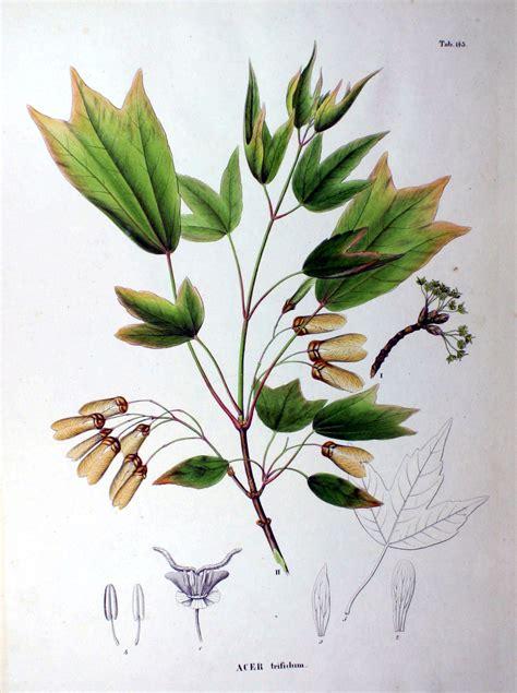 cer tafel flora japonica sectio prima tafelband 1870