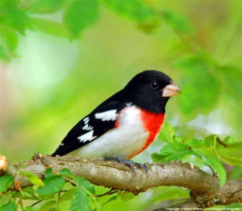 pictures of birds in alabama bird migration 2012 in swing as breasted grosbeaks norththe locust fork