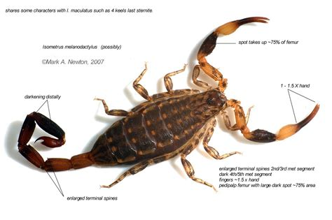Isometrus Maculatus isometrus maculatus scorpions the venom list for all