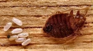 bed bugs faqs important information  effective