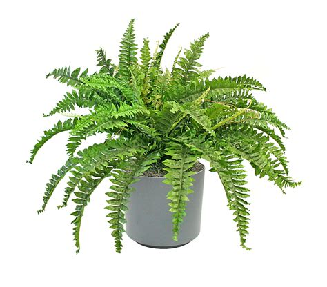 five air purifying house plants that won t kill your cat