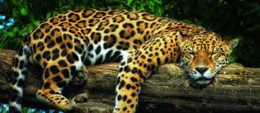 Where Can You Find Jaguars 9 Cool Animals You Can Find In Brazil New Day Digest
