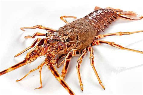 come si cucina aragosta aragosta pesce in cucina