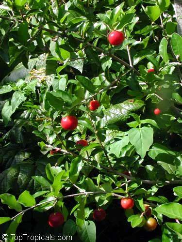 barbados cherry malpighia punicifolia