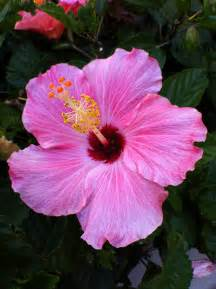 official state flowers hibiscus florida s second state flower orange blossom