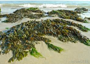 what is seaweed with pictures